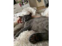 British Blue shorthair kitten for sale - AVAILABLE