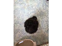 A Pomeranian X poodle