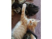 Rare female ginger kittens