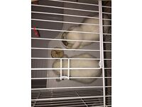 Two Rabbits for sale with cage, food and accessories.
