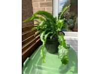 Hardy fern in ceramic pot