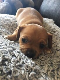 7/8 chihuahua 1/8 jack Russell male puppy for sale