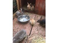Lots of gorgeous baby rabbits for sale