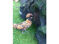 Pair Polish Bantam Chickens