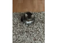 Male tabby kitten and female kitten both 9 weeks old for sale