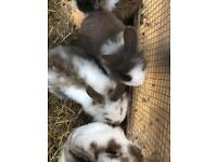 Lion head and Dutch rabbits for sale