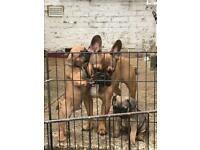French bulldog puppies READY NOW