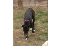 Grayhound x staffy