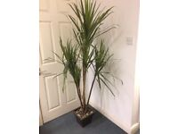 Tall Artificial Office Plant 1.9 metres as new