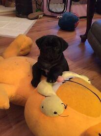 Male Black Pug