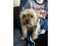 Yorkshire Terrier, neutered, male, 19 months