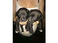 Paterdael cross Staffie pups