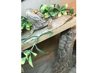 Bearded Dragon With Vivarium and accessories for sale.