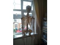 Skeleton for sale (human, life sized, with stand, & plastic)