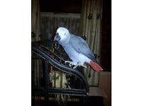 African Grey Parrot - Male - sexed