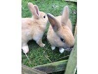 2 beautiful baby bunnies ready now