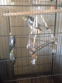 3 cockatiel birds with huge cage male and female