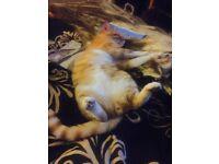 Ginger Cat missing - Harrow