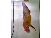SOLiD RED DiSCUS 4 inches body
