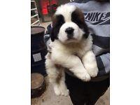 st Bernard pups for sale