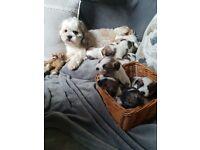 Shihtzu x jack Russell puppies