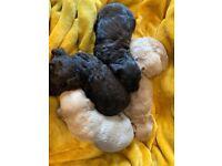 Cockapoo Puppies F1b Pra & Fn Clear