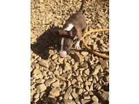 Kc reg bull terrier puppies
