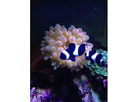Black Clownfish x2 (Pair) Percula - 2 years old