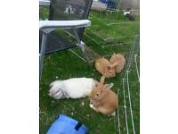 2 Beautiful dutch cross ginger boy rabbits for sale
