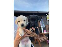 Beautiful Labrador x Collie Puppys Puppies