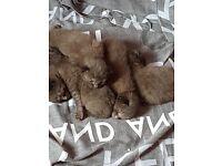 5 BRITISH BLUE X KITTENS READY IN 3 WEEKS