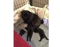 Beautiful black pugs