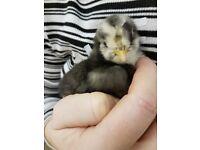 Pilkie chicks for sale Pekin x bearded paint silkie