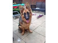 Beautiful German shepherd puppy dog 10 months old.