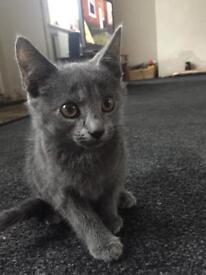 Kitten, grey