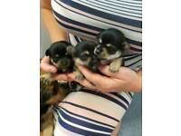Miniature Chorkie pups for sale
