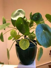 Pilea peperomioides house plant in ceramic pot