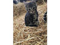 4 kittens £35 each