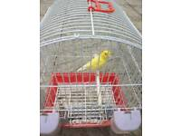 Canary with cage