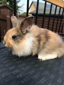 Rabbits DM lionhead x lop ( READY THIS WEEKEND )