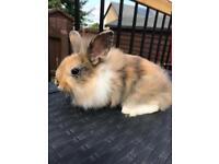 Rabbits DM lionhead x lop ( READY NOW )