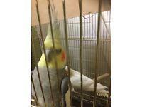 cockatiels bird