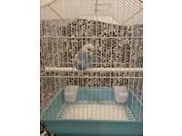 Baby budgie HAND TAMED with cage