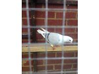 Nice pigeons for sale