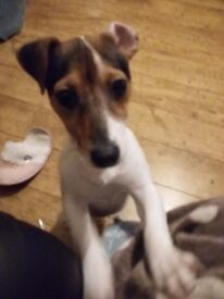 Jack russell puppy 6 months old
