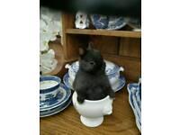 Netherland Dwarf baby bunny.