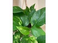 House plant | Devils ivy