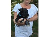 Miniature Schnauzer Puppies for Sale