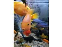 2 parrot fish