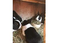 Dutch rabbits babys